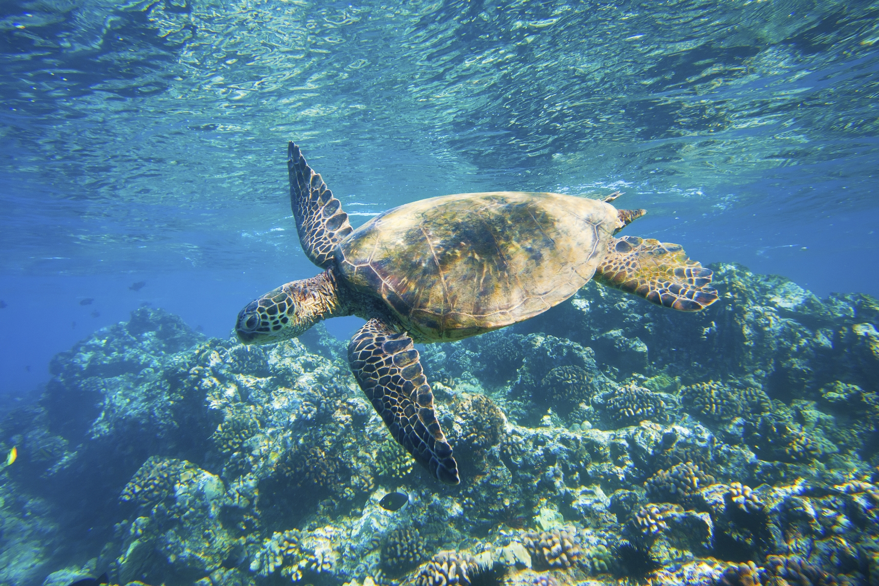 Maui Hawaii Turtle Snorkeling